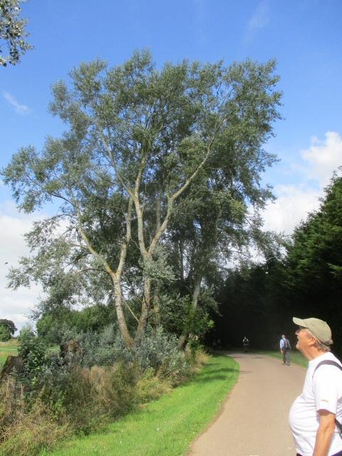 Graham tells us it's a White Poplar