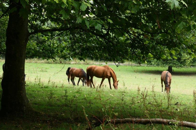 Horses too busy eating to take any notice of a herd of Ramblers