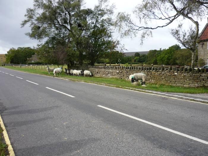 Sheep on the roadside