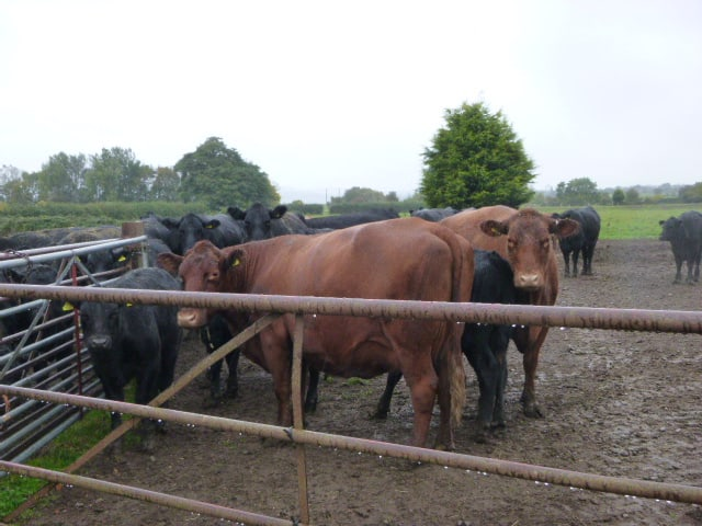The cattle also look miserable and wet