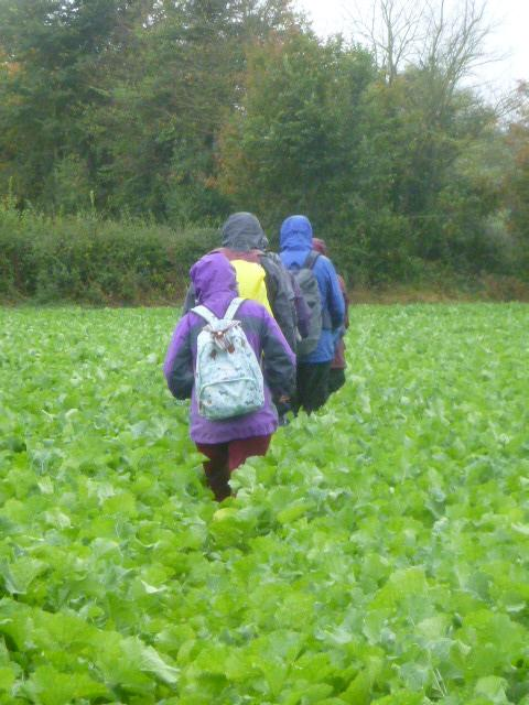 Through a field of turnips