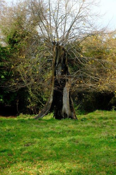 The old hollow tree - still growing