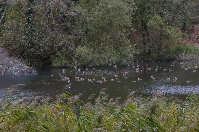 Ducks on Cannop Ponds