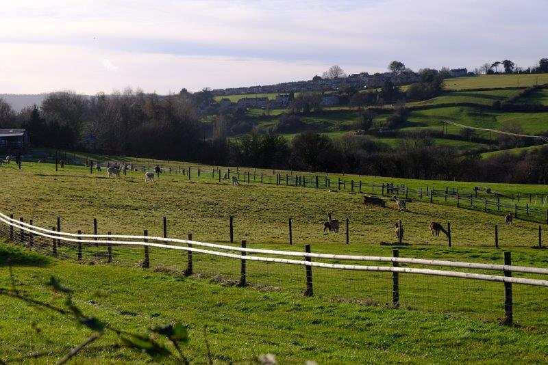 And an Alpaca farm as we head back up the Painswick Valley