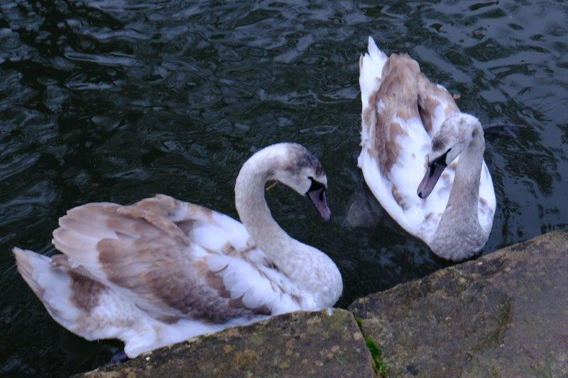 On to the canal - swans growing up