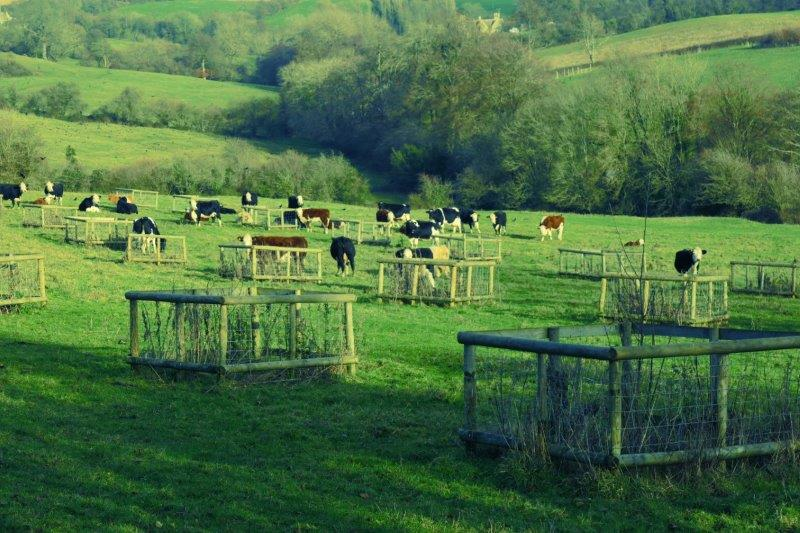 Through a field of cattle