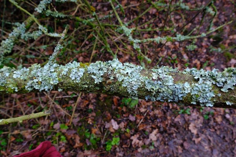 Lichen growing on a log