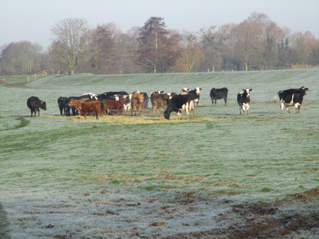 And frosted cattle