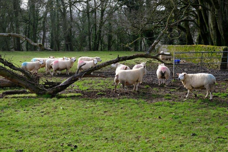 Rare sheep apparently