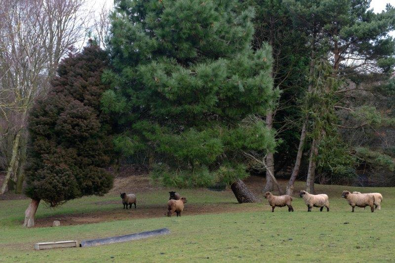 Some woolly sheep