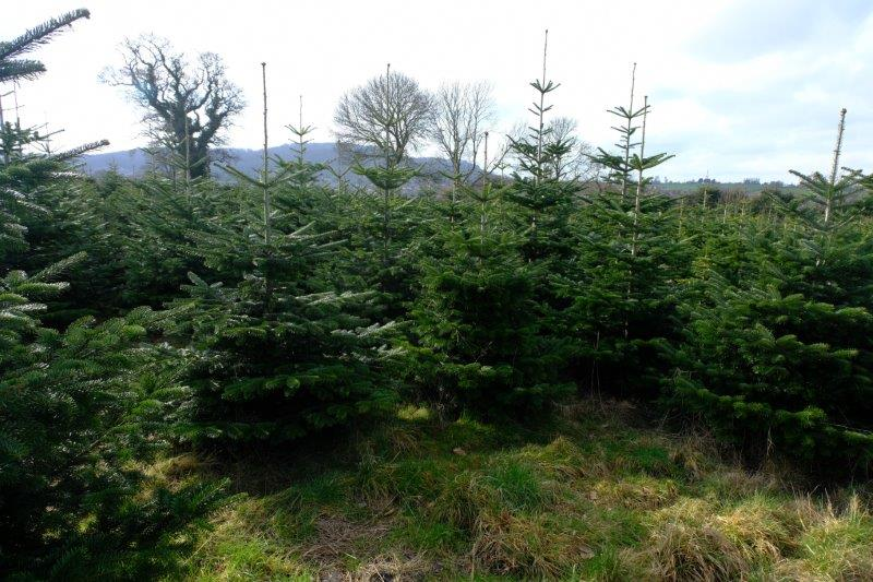 To a plantation of Christmas trees