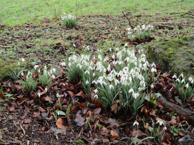 And snowdrops