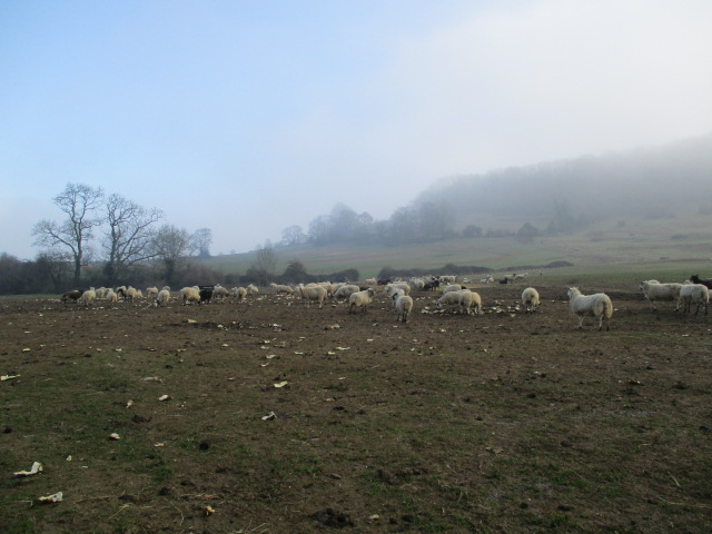 As we get closer we can see the field is full of sheep