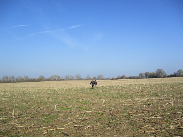Across a large field of maize stalks