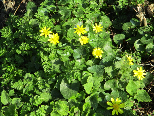 And celandines