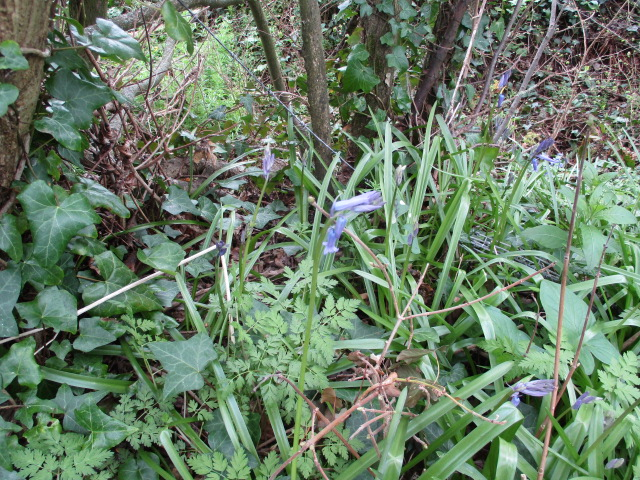 Our first bluebells