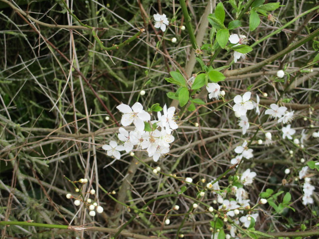 Blackthorn is out.