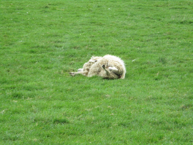 We spot a sheep unable to stand and three of us lift it to its feet