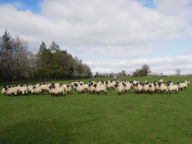 These sheep move in unison