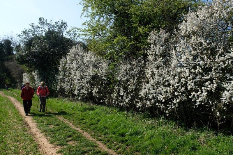 Around fields; hedges full of blackthorn blossom