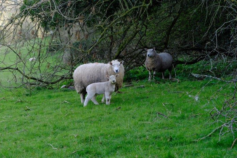 Lambs receiving lessons in watching humans