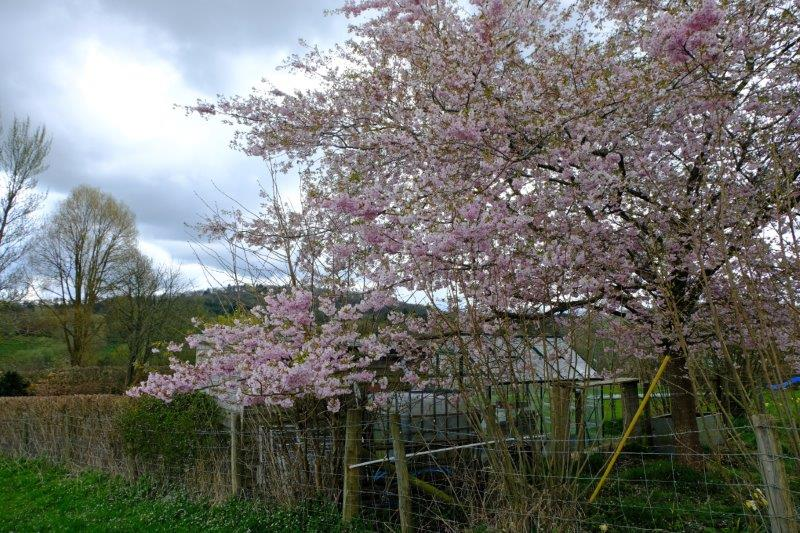 Trees blossoming in gardens