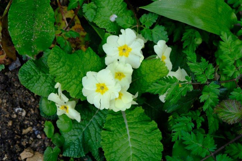 Primroses making an appearance