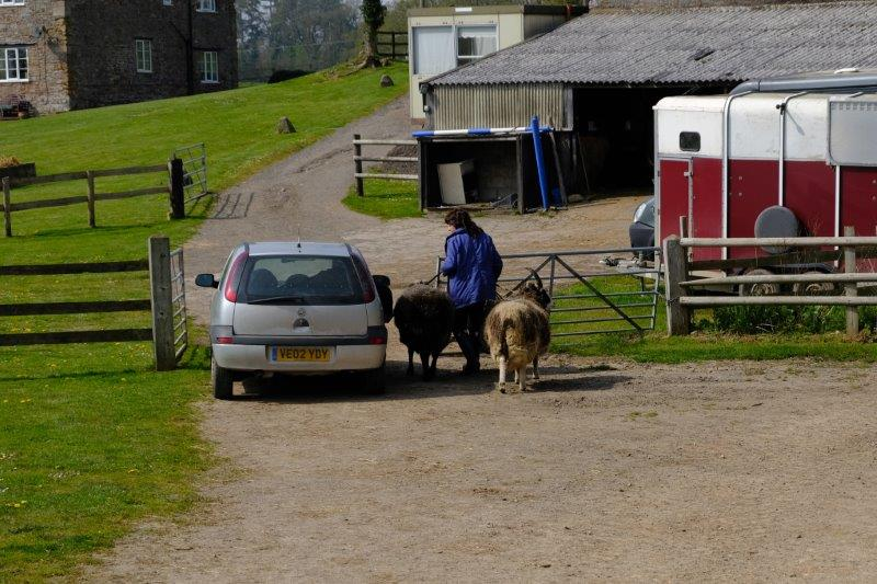 Where the farmer shows how to lead a sheep from a car