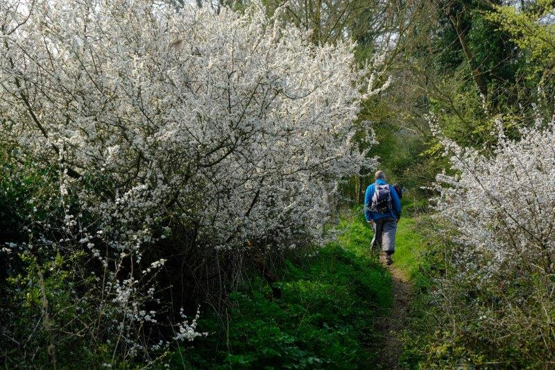 Blackthorn blossom everywhere