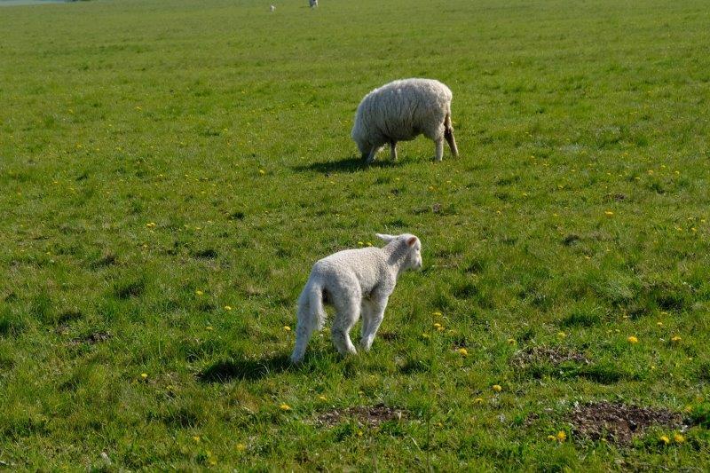 Lambs keep an eye on us as we wait to start