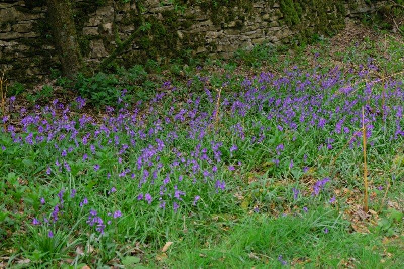 Wayside bluebells