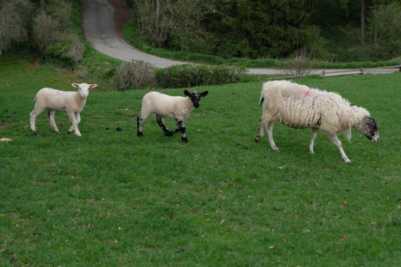 Through a field of sheep