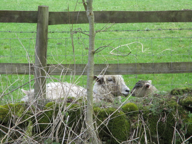 And a very muddy-faced lamb