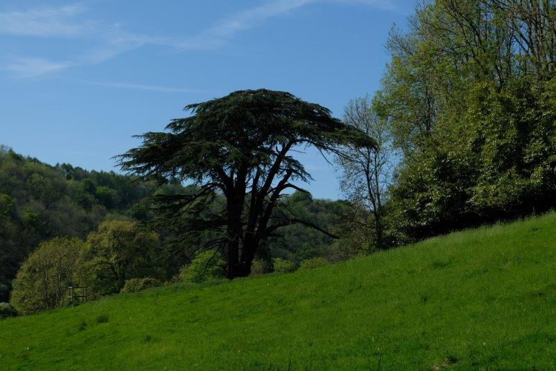 An imposing tree