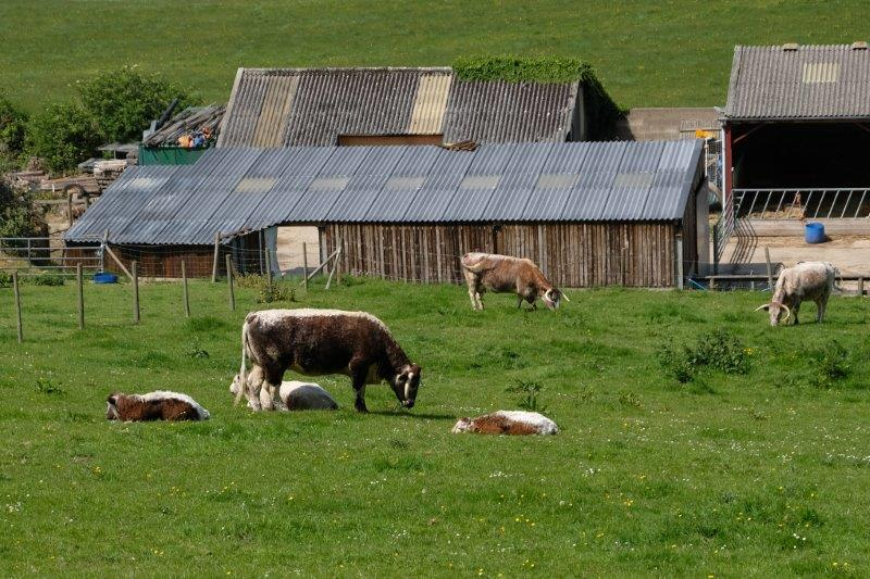 Past a small herd of Longhorn cattle