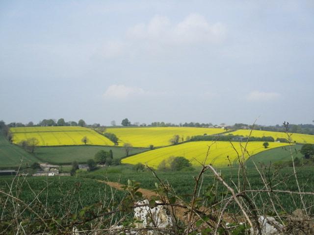 Fields of oil seed rape in the distance