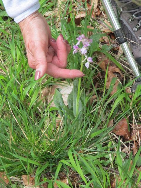 A spotted orchid without spots