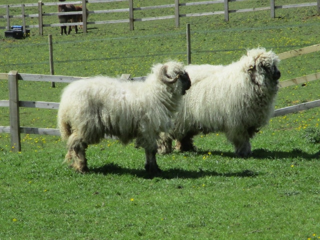 A pair of very unusual sheep. Any ideas?