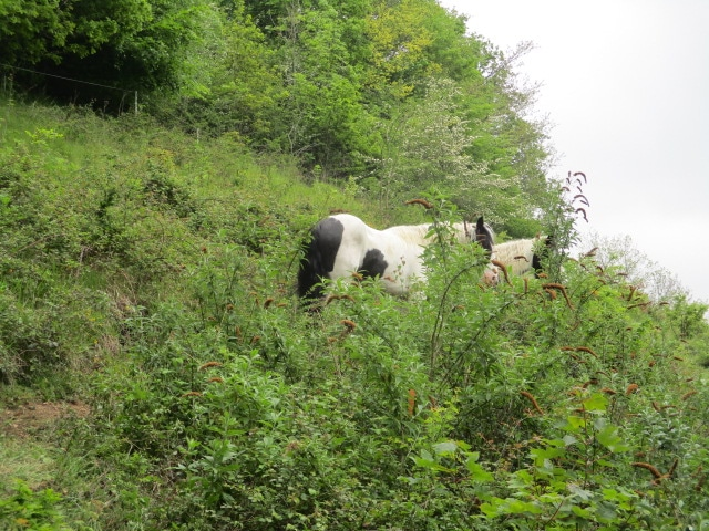 We descend a path, where these horses are working for the National Trust eating vegetation to benefit wild flowers