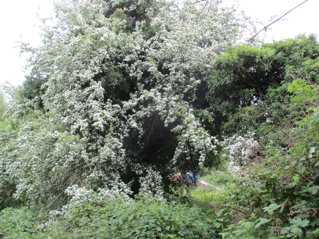 Beautiful hawthorn blossom