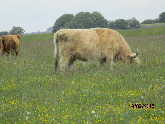 Where Highland cattle are out