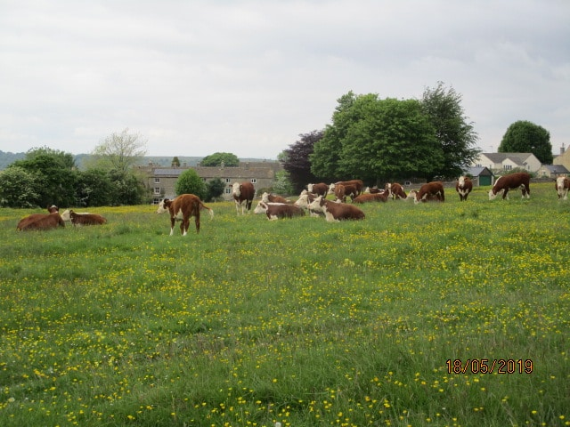 Past a herd of cows