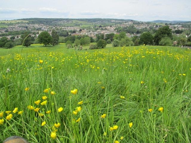 In a field of buttercups