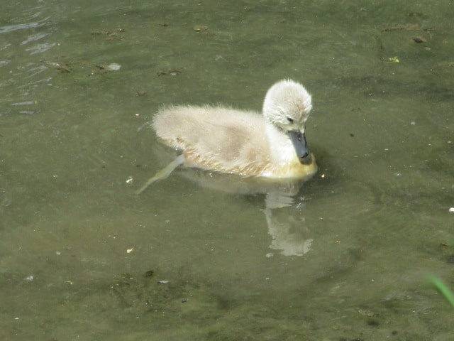 We stop to look at the cygnet