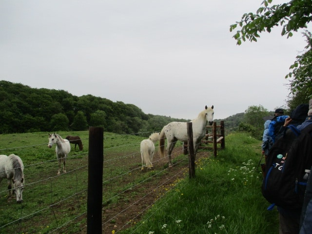 We cross the railway line and join the path where horses show interest