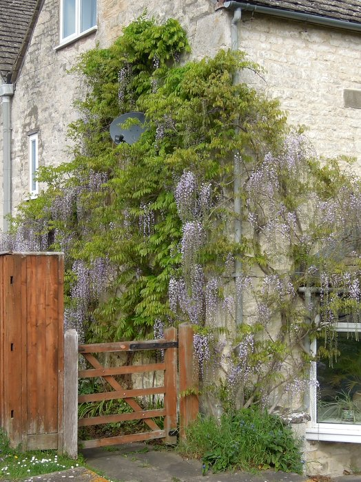 Wisteria adorning this house