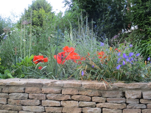 Lovely poppies in this garden