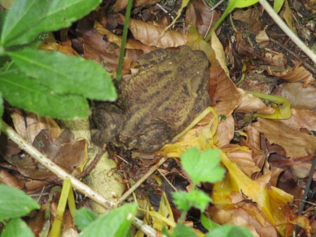 Colin moves the toad from his place on the path to somewhere safer