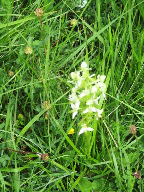 Another butterfly orchid