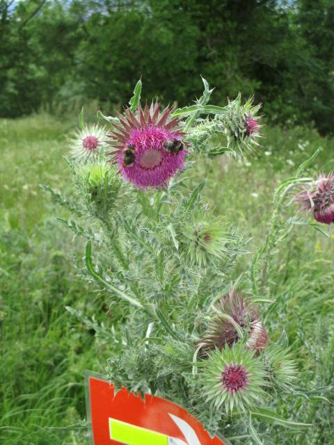 Bees enjoying this thistle. Not sure what they think about the Race marker.